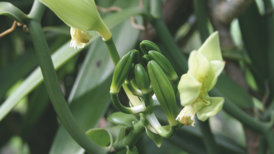 Vanilla pods are obtained from an orchid vine.