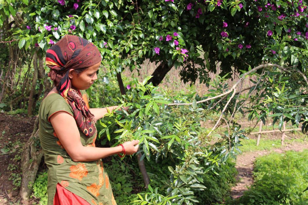 Una chica de Nepal mostra baya de Timur