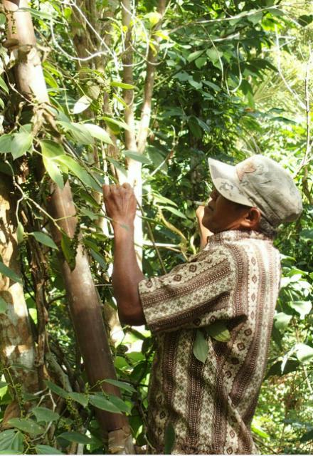 Récolte poivre de Lampong