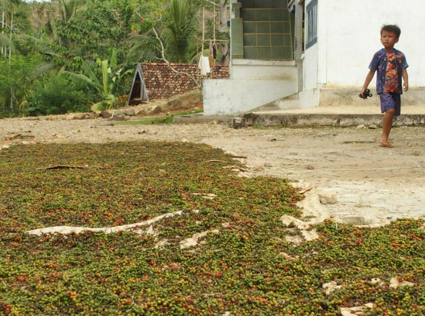 Séchage poivre de Lampong