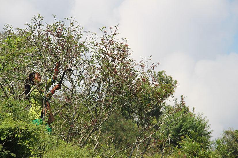 Recolte Baie Timur femme arbre