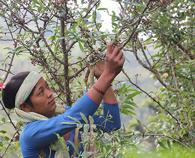 Recolte Baie Timur Nepal