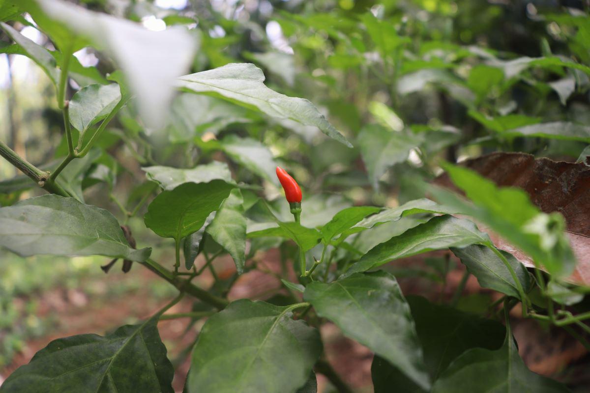 Goa piment pili-pili