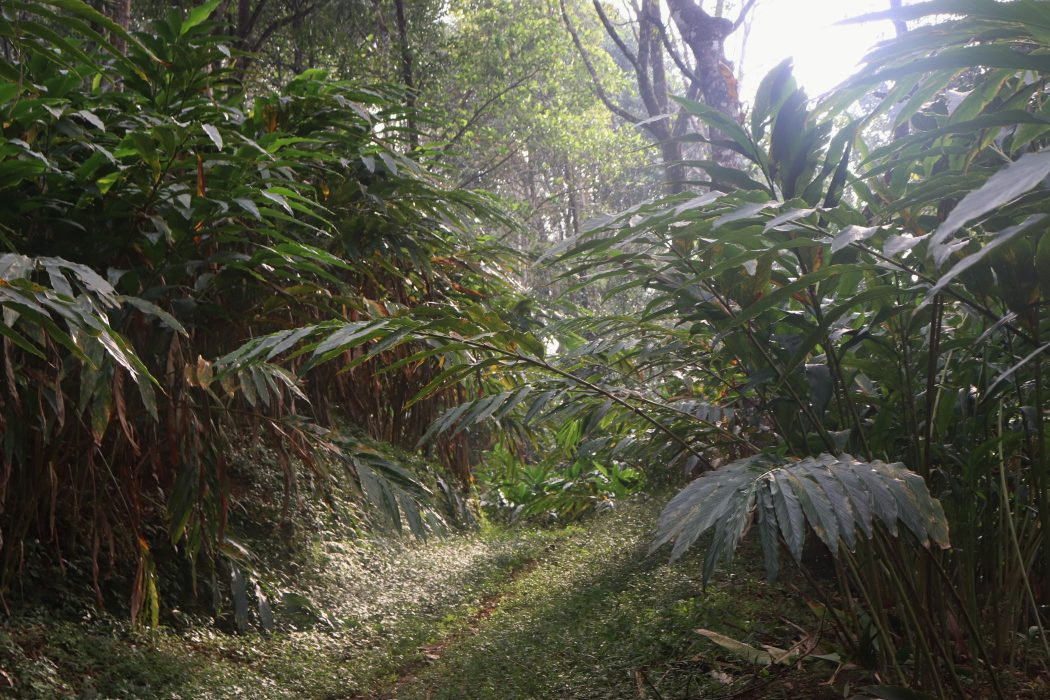 plantation cardamome