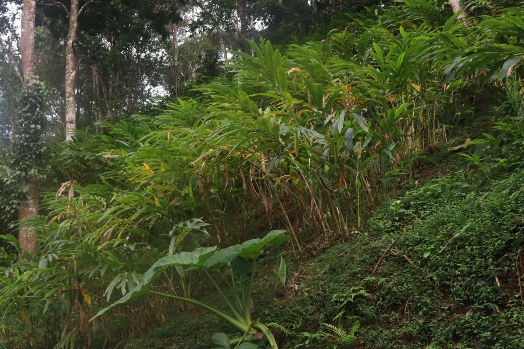 Plants de cardamome