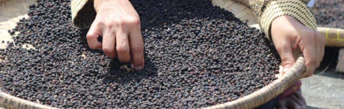Récolte poivre cubèbe - Terre Exotique