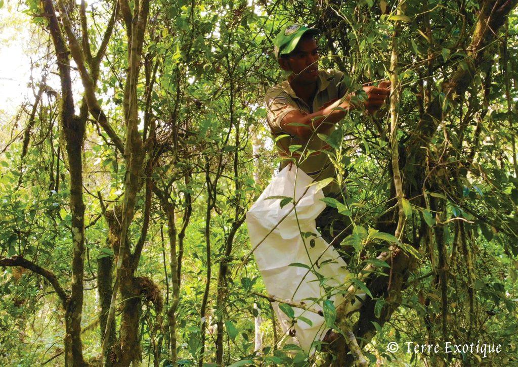 colte poivre voatsiperifery - Terre Exotique
